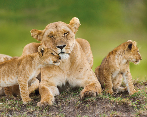 Lioness And Cubs Mini Poster