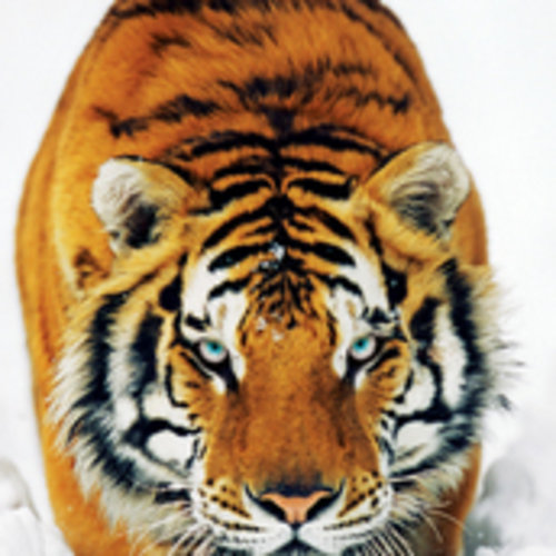 Tiger And Snow