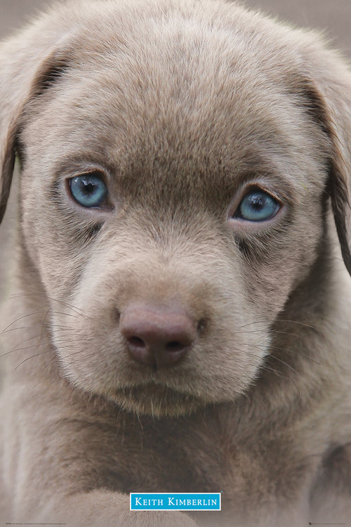 Keith Kimberlin Puppies Blue Eyes Maxi Poster